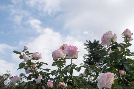 生田緑地ばら苑【秋バラ:プリンセス・ドゥ・モナコ】1