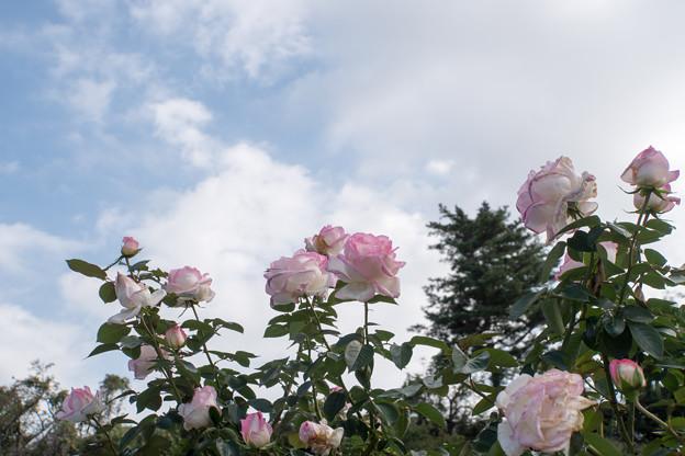 Photos: 生田緑地ばら苑【秋バラ:プリンセス・ドゥ・モナコ】1