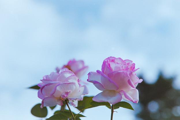 生田緑地ばら苑【秋バラ:プリンセス・ドゥ・モナコ】2銀塩