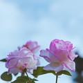 Photos: 生田緑地ばら苑【秋バラ:プリンセス・ドゥ・モナコ】2銀塩
