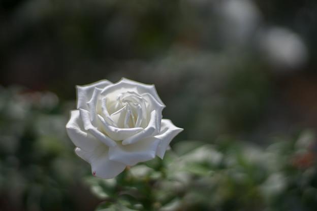 生田緑地ばら苑【秋バラ:ヨハネパウロ2世】