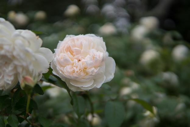 京成バラ園【秋バラ:ボレロ】