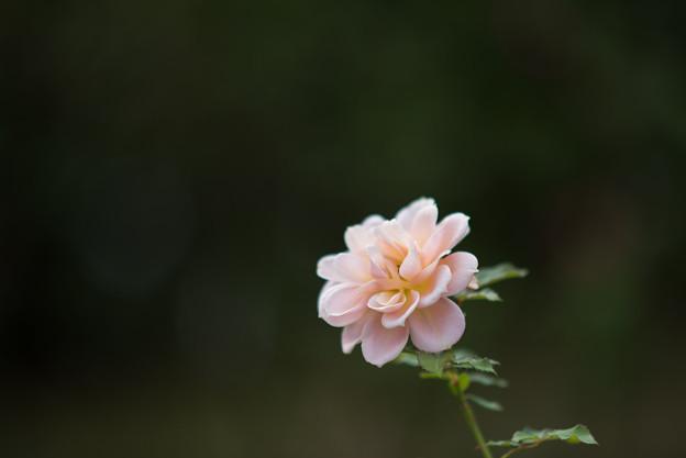 京成バラ園【秋バラ:笑み】
