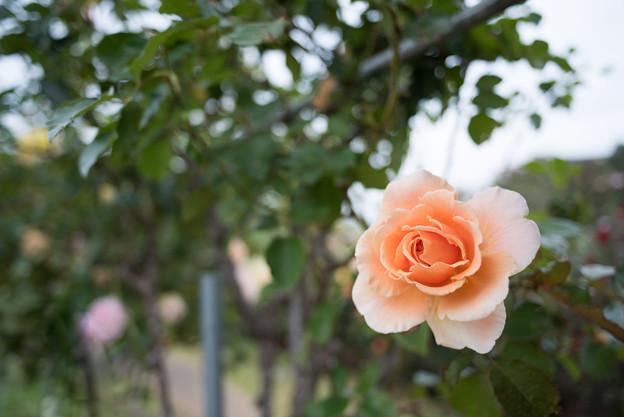 京成バラ園【秋バラ:ジャスト・ジョイ】