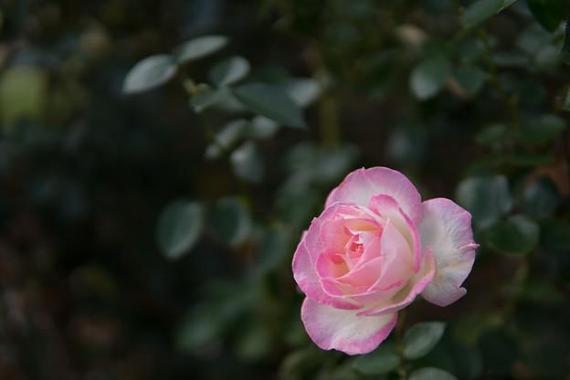 京成バラ園【秋バラ:プリンセス・ドゥ・モナコ】