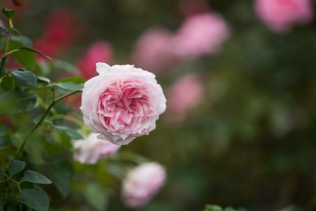京成バラ園【秋バラ:春乃】