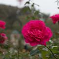 Photos: 京成バラ園【秋バラ:王妃アントワネット】