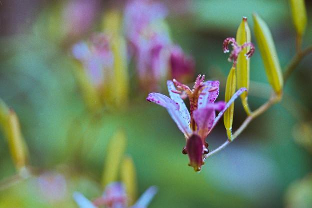 庭の花【ホトトギス】2銀塩