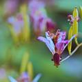 Photos: 庭の花【ホトトギス】2銀塩