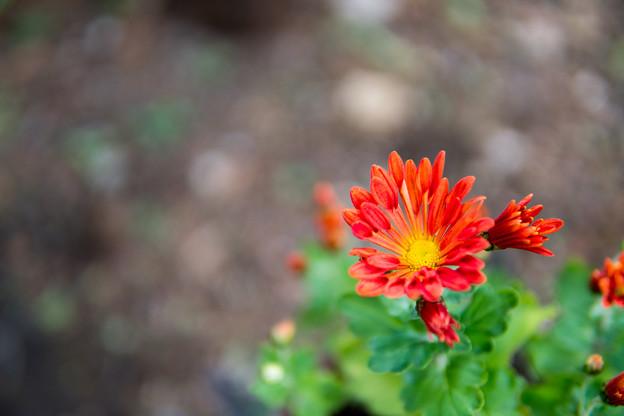 庭の花【菊:カトマイ風車】1