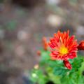 Photos: 庭の花【菊:カトマイ風車】1