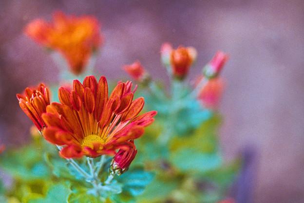 庭の花【菊:カトマイ風車】2銀塩