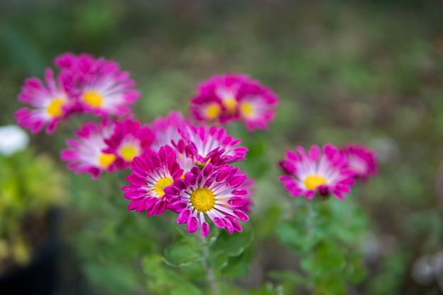 庭の花【菊:シャトー風車】