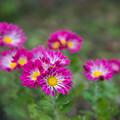 Photos: 庭の花【菊:シャトー風車】