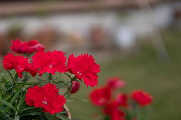 庭の花【ナデシコ:スーティブラック】