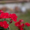 Photos: 庭の花【ナデシコ:スーティブラック】