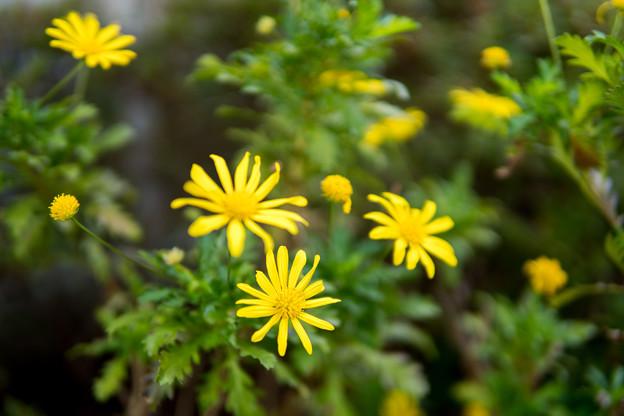 庭の花【ユリオプスデージー】