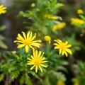 Photos: 庭の花【ユリオプスデージー】