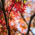 Photos: 近所の緑道【モミジ】2