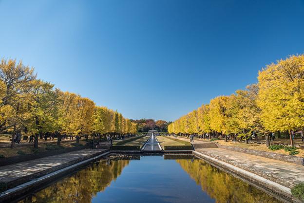 昭和記念公園【カナールの黄葉】1