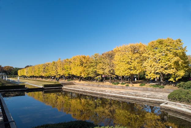 Photos: 昭和記念公園【カナールの黄葉】2