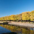 昭和記念公園【カナールの黄葉】2