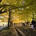 昭和記念公園【カナールの黄葉】4