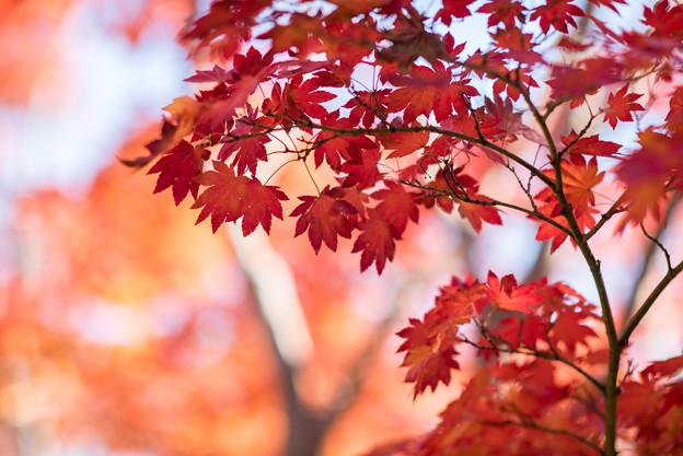 昭和記念公園【日本庭園:紅葉】3-7