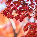 Photos: 昭和記念公園【日本庭園:紅葉】3-7