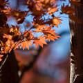 昭和記念公園【日本庭園:紅葉】3-8