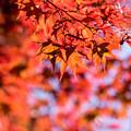 昭和記念公園【日本庭園:紅葉】3-9