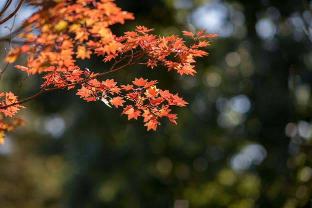 昭和記念公園【日本庭園:紅葉】3-6