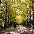 昭和記念公園【イチョウ並木の様子】1