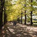 昭和記念公園【イチョウ並木の様子】2