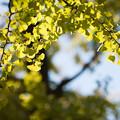 昭和記念公園【イチョウ並木の様子】3
