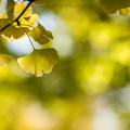 昭和記念公園【イチョウ並木の様子】4