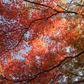 昭和記念公園【渓流広場付近のモミジ】1