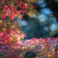 Photos: 昭和記念公園【渓流広場付近のモミジ】2