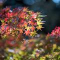 Photos: 昭和記念公園【渓流広場付近のモミジ】3