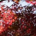 昭和記念公園【渓流広場付近のモミジ】4