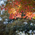 昭和記念公園【渓流広場付近のモミジ】5