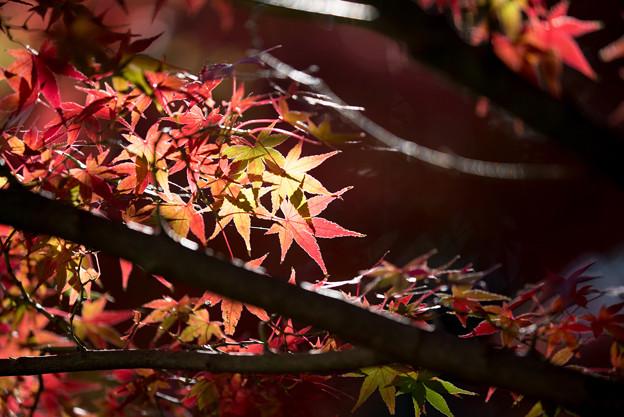 Photos: 昭和記念公園【渓流広場付近のモミジ】6