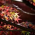 昭和記念公園【渓流広場付近のモミジ】6