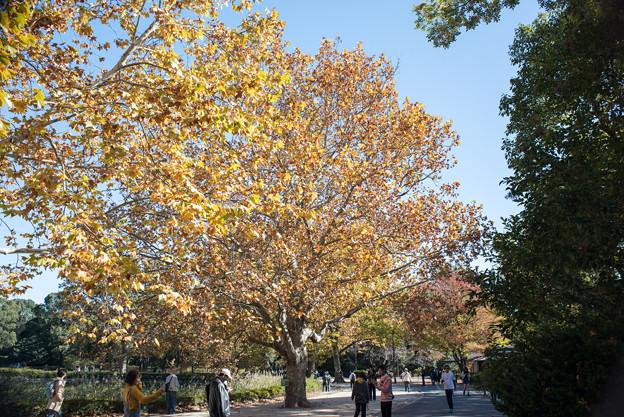 Photos: 昭和記念公園【アメリカスズカケノキ】1