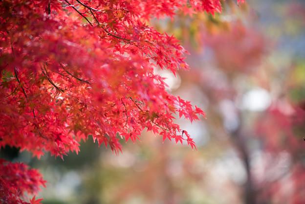 河口湖【紅葉】4