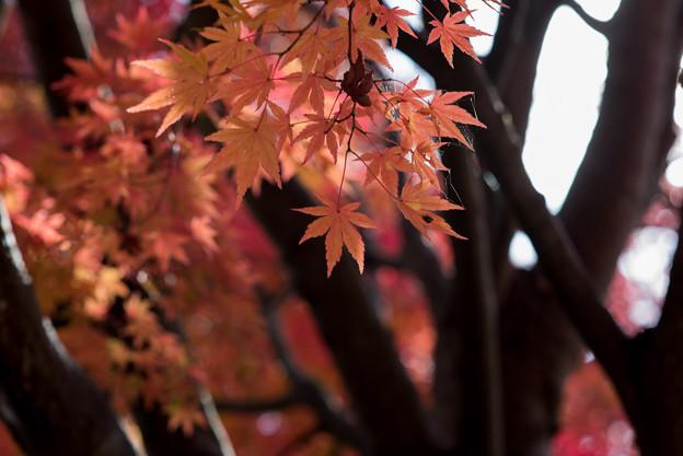河口湖【紅葉】5