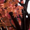 Photos: 河口湖【紅葉】5