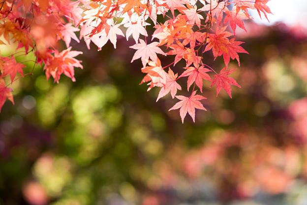 河口湖【紅葉】7
