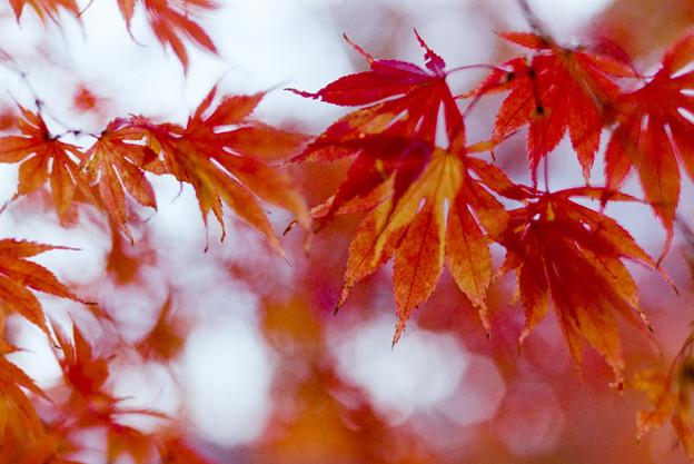 河口湖【紅葉】8銀塩
