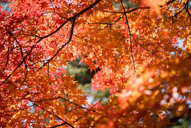 山中湖【紅葉】6